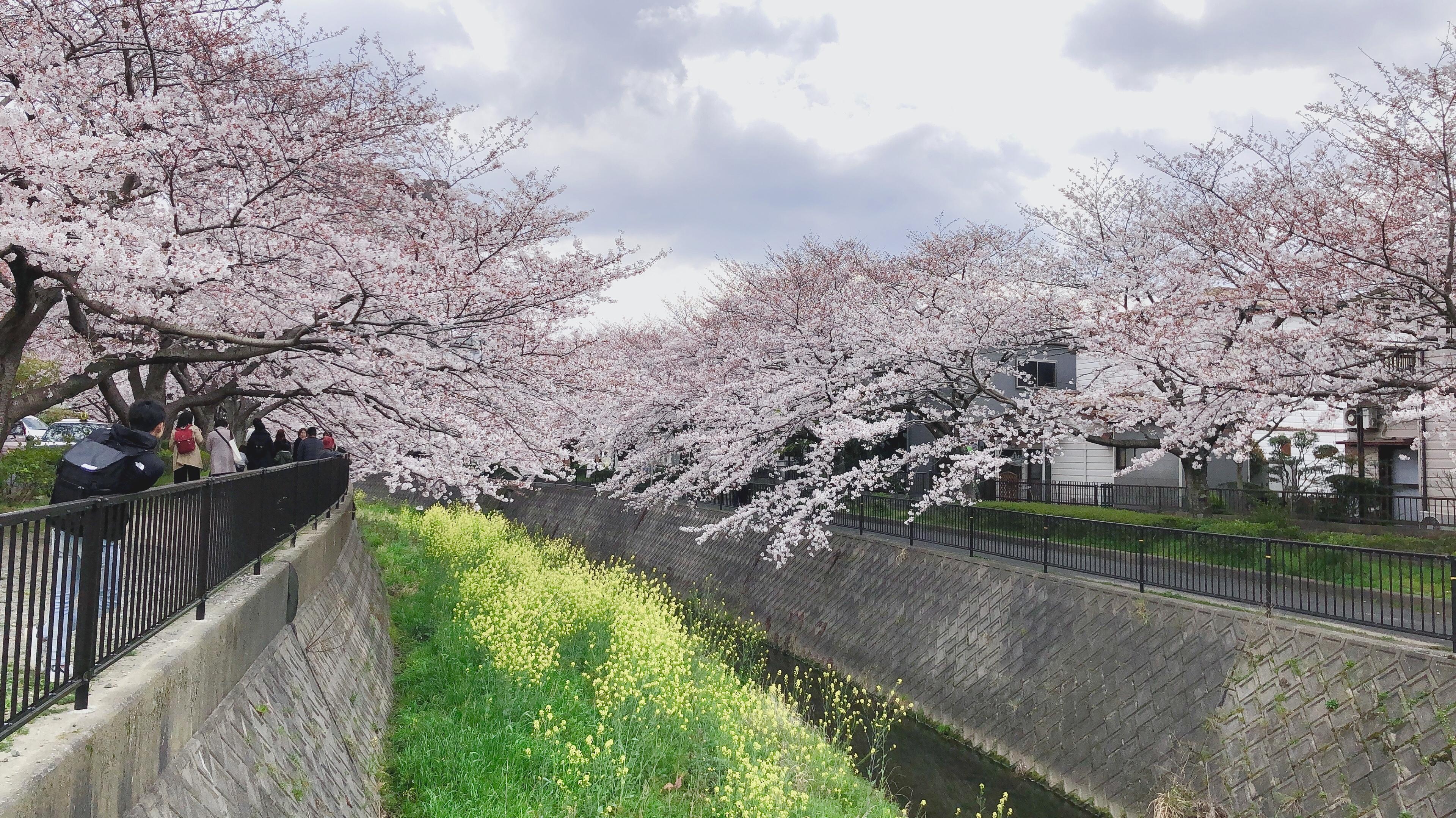 北九州花見スポット🌸志井川沿いの桜並木