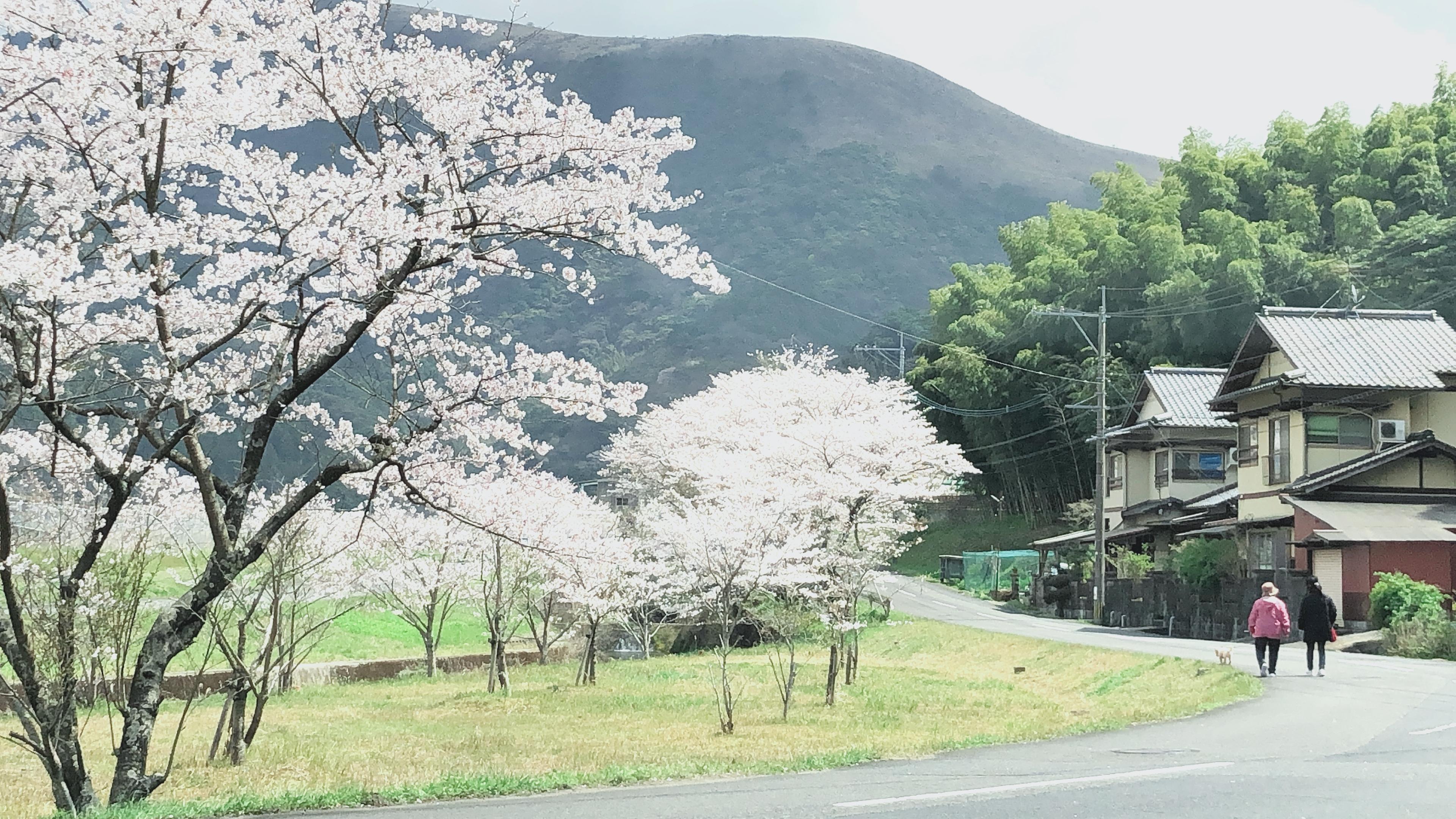 北九州の花見スポット🌸井手浦浄水場